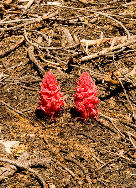 Snow Plant - seen during the hike from North Dome