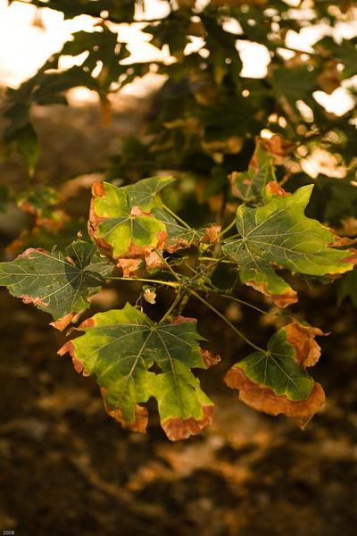 Random tree leaf in Yosemite Valley