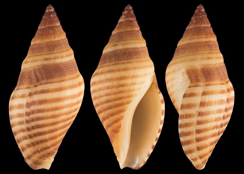 Megasurcula stearnsiana (Raymond, 1904)