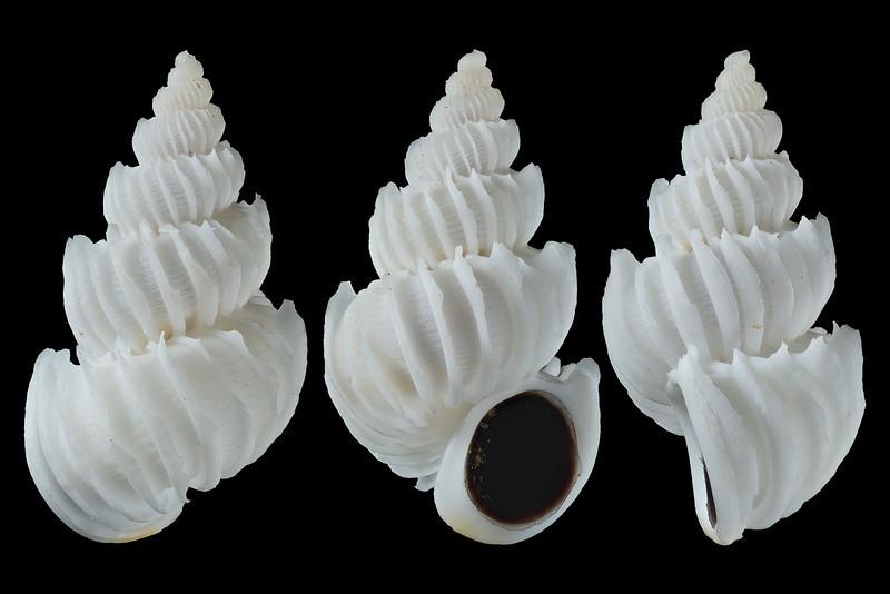 Epitonium (Asperiscala) bellastriatum (Carpenter, 1864)