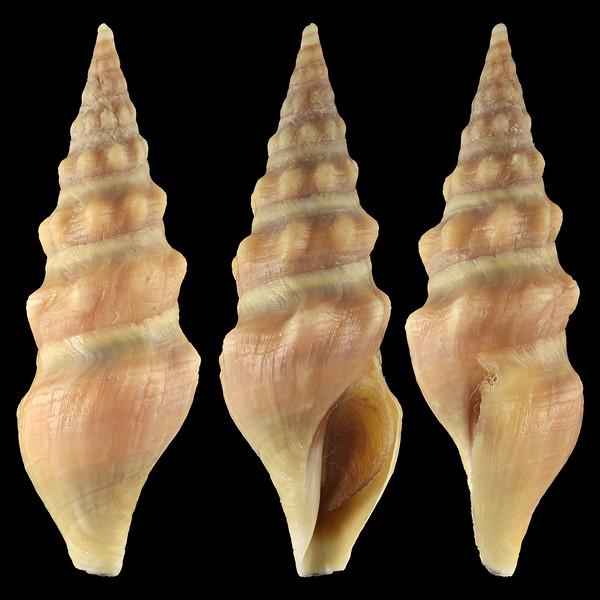Pseudomelatoma torosa (Carpenter, 1864)