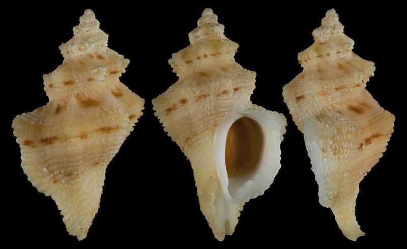 Ocinebrina folveolata (Hinds, 1844)