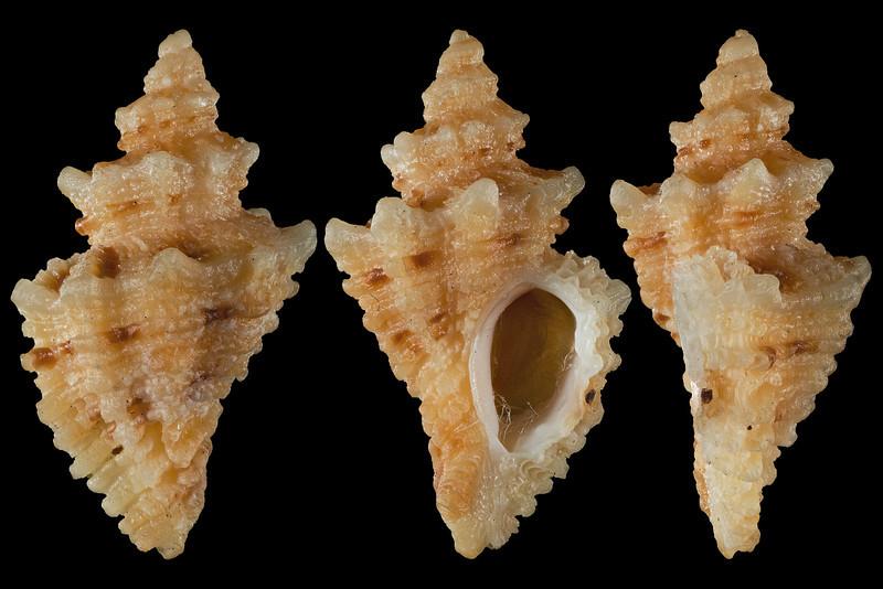 Ocinebrina interfossa (Carpenter, 1864) form fraseri