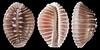 Pusula solandri (G. B. Sowerby I, 1832)