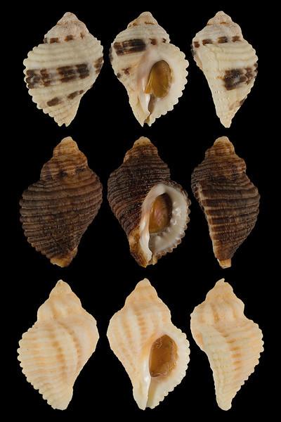 Ocinebrina circumtexta (Stearns, 1871)
