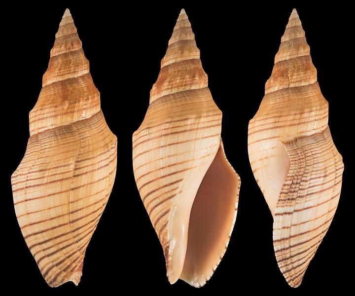 Megasurcula carpenteriana (Gabb, 1865)