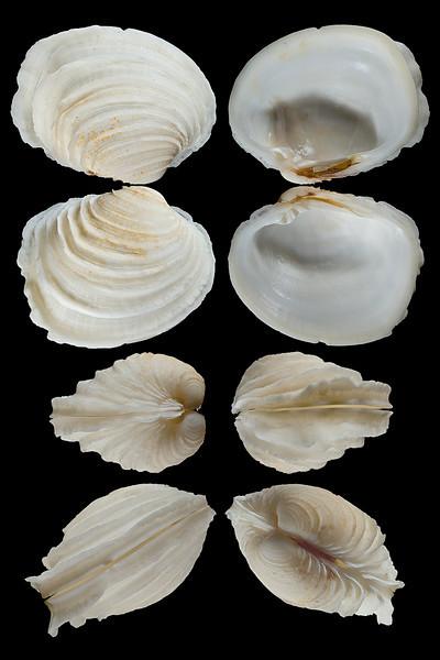 Irusella lamellifera (Conrad, 1837)