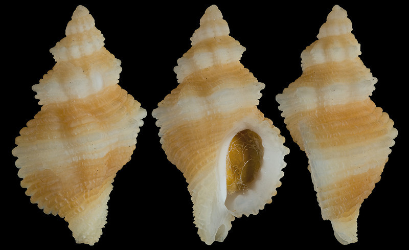 Ocinebrina lurida (Middendorff, 1848)?