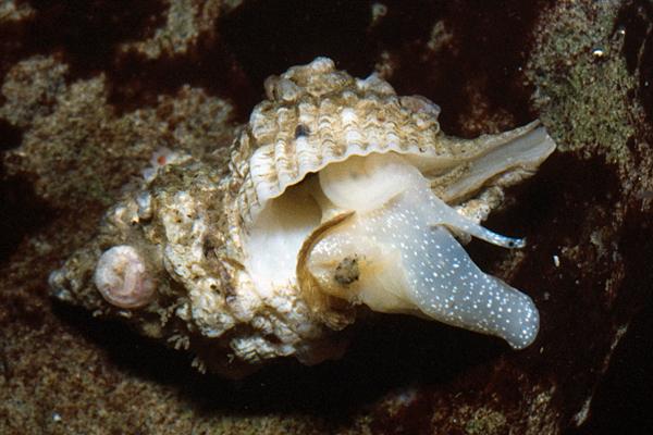 Urosalpinx? subangulata (Stearns, 1873)