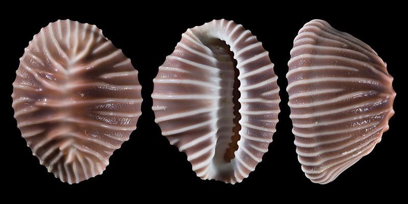 Pusula californiana (Gray, 1827)