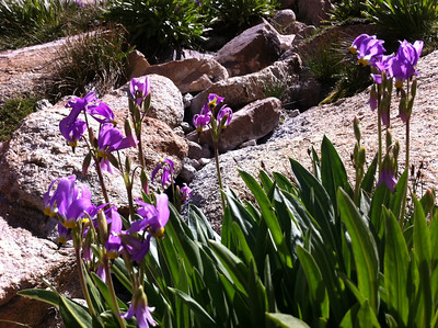 iPhone photo.  Shooting Star at Trailside Meadow.