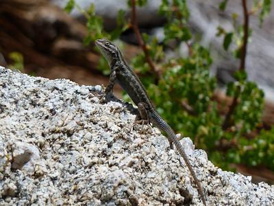 Lizard.