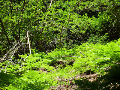 Ferns on the North Fork of Lone Pine Creek.