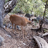 We've entered the Yosemite Petting Zoo...<br /> <br /> Deer.