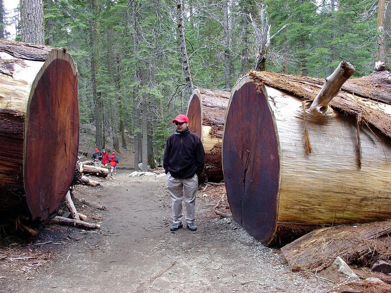 Downed trees in the Mariposa Grove.