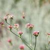 Eriogonum grande var. rubescens (hybrid buckwheat) from RSA chaff garden plant - Hemet Garden with associate