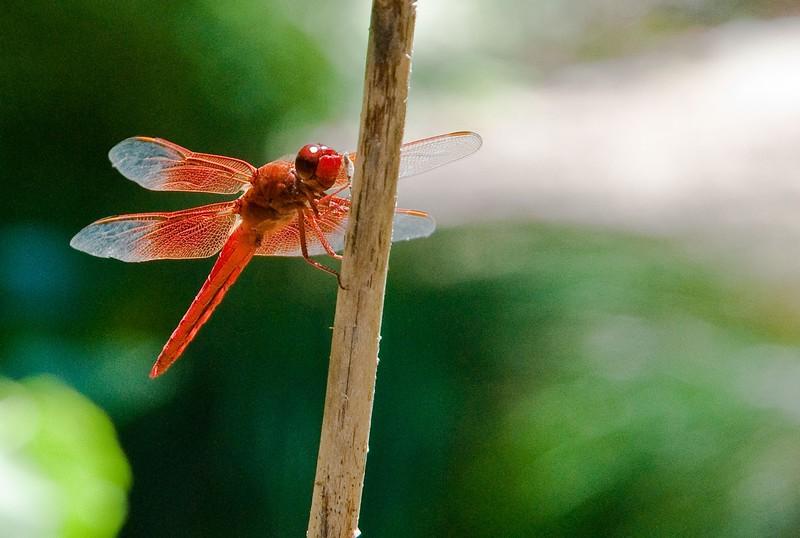 RSABG dragon fly at upper pond (possibly a cardinal meadowhawk - Sympetrum illotum)  - 09