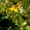 Pseudobahia heermanii (foothill sunburst)  with associate