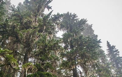 Abies amabilis (Pacific silver fir) - Marmot Creek  Mt. Rainier backpack