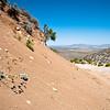 Eriogonum saxatile (Cushenbury buckwheat) - BLM RTE Carbonate species Cushenbury Canyon
