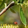 Salix lasiolepis (arroyo willow) with lady bird beetle - Bautista Creek - 5