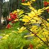 Sorbus californica (California mountain ash) Trip to Mineral King fall 2006 - 2
