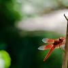 RSABG dragon fly at upper pond (possibly a cardinal meadowhawk - Sympetrum illotum)  - 07
