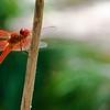 RSABG dragon fly at upper pond (possibly a cardinal meadowhawk - Sympetrum illotum)  - 08