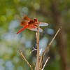 RSABG dragon fly at upper pond (possibly a cardinal meadowhawk - Sympetrum illotum)  - 04