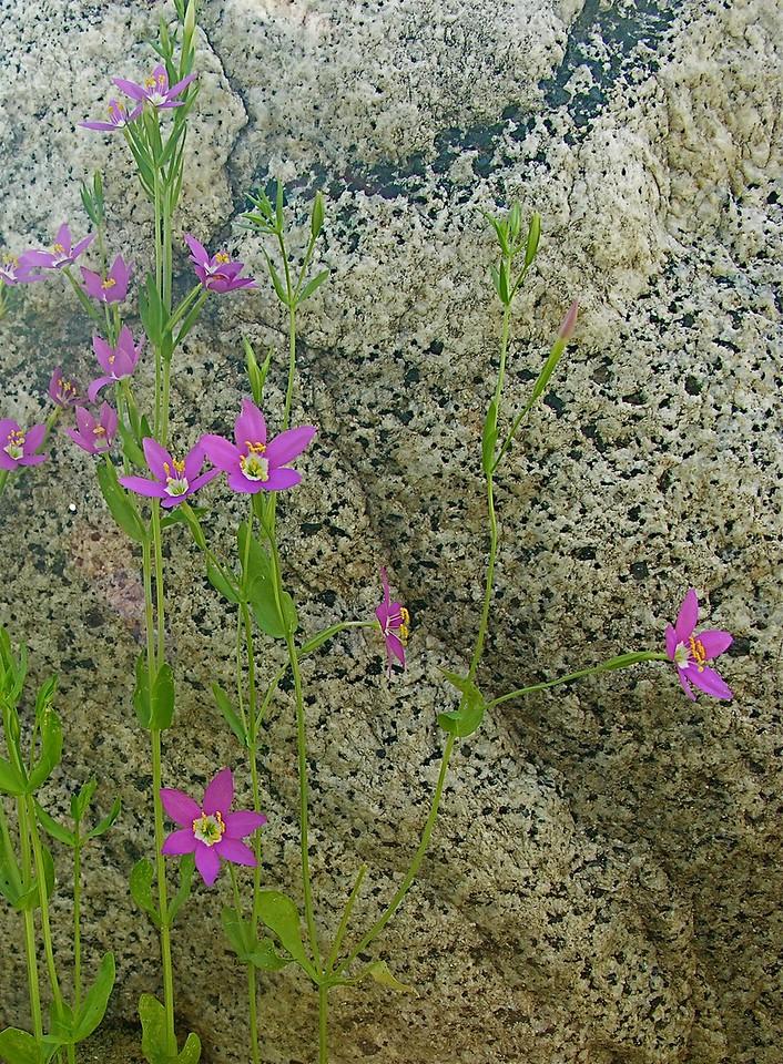Centaurium venustum (Canchalagua) San Jacinto River
