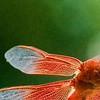 RSABG dragon fly at upper pond (possibly a cardinal meadowhawk - Sympetrum illotum)  - 10
