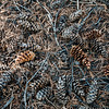 Pinus monticola (western white pine) seed cones - Jennie Lakes Wilderness backpack - 015
