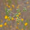 Eriogonum fasciculatum - 2