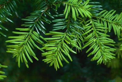 Abies amabilis (silver fir) - Mystic Lake Camp Mt. Rainier backpack