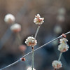 Eriogonum elongatum - (long-stem buckwheat) - Bautista Creek - 4