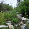 Mimulus (Erythranthe rubella) rubellus habitat - SBNF Holcomb Creek burn survey 4Jun2009