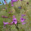 Penstemon heterophyllus (mountain gay penstemon) along Trimmer Springs Rd. above Pine Flat Reservoir