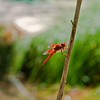 RSABG dragon fly at upper pond (possibly a cardinal meadowhawk - Sympetrum illotum)  - 06