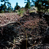 Eriogonum parishii (mountain mist) - San Bernardino Mountains