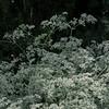 Eriogonum giganteum (Santa Catalina Island buckwheat)  - RSABG