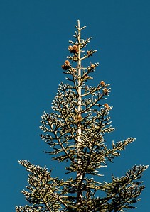 Abies magnifica (red fir) seed cones - Jennie Lakes Wilderness backpack - 006