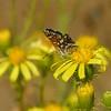 Senecio flaccidus var. douglasii  (bush groundsel) with butterfly species - Bautista Creek