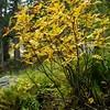 Sorbus californica (California mountain ash) Trip to Mineral King fall 2006 - 3
