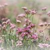 Eriogonum fasciculatum var. polifolium (Eastern mojave buckwheat) Eastern Mojave Desert Providence Mountains