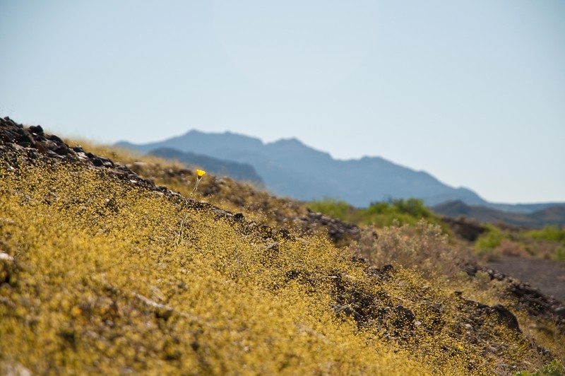 Eriogonum pusillum (yellow turbans) Death Valley Hwy 190 east to Death Valley Jct. - 3