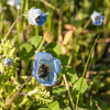 Nemophila menziesii (baby blue eyes) and native bee species - Three Rivers Home