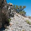 Eriogonum ovalifolium ssp. vineum - Eriogonum vineum subsp. ovalifolium (Cushenbury buckwheat) - BLM RTE Carbonate species