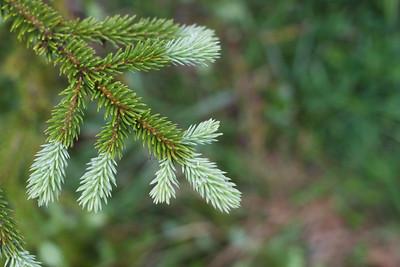 Abies lasiocarpa (subalpine fir) Tuesday 14 mile hike out - Mt. Rainier backpack