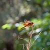 RSABG dragon fly at upper pond (possibly a cardinal meadowhawk - Sympetrum illotum)  - 05
