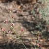 Eriogonum grande hybrid from RSA chaff garden plant - Hover fly